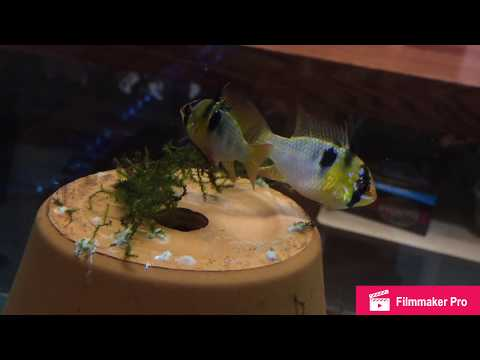 Collecting German Blue Ram Eggs: HOW TO