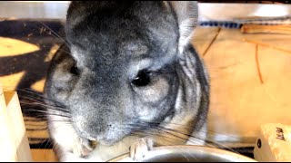 Adorable Chinchilla Eating Pellets