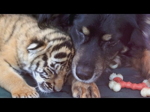 Dog 'Nanny' Cares For 3 Adorable Orphaned Tiger Cubs
