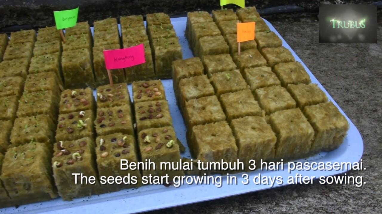 7 Langkah Cara Semai Benih Sayuran Hidroponik