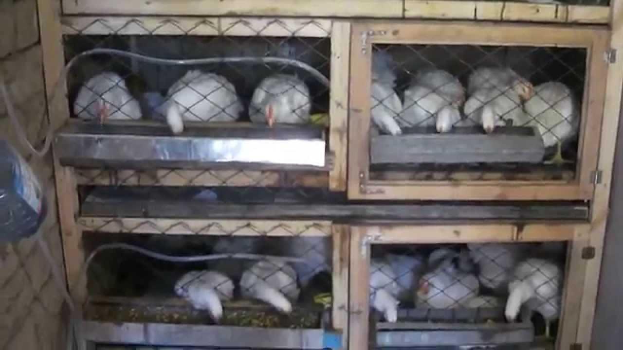Клетки для куриц-несушек своими руками. Размеры клетки для 5