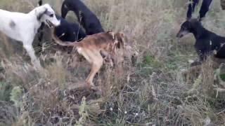 "Копия видео ""Охота на борсука с собаками актобе осень 2016"""
