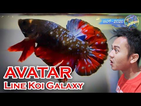 Nemu AVATAR KW Dilubukan Ikan Cupang Plakat Koi Galaxy/Avatar Line Koi Galaxy / Breeding Betta Fish