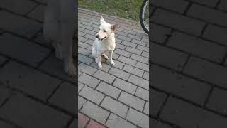 Собака хочет телку