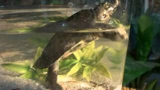 Трионикс: молниеносная черепаха (часть первая) . Все О Домашних Животных