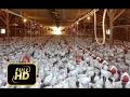 [Trump News]Bird flu Outbreak - H5N2 Avian Flu Kills over 33 million Chickens