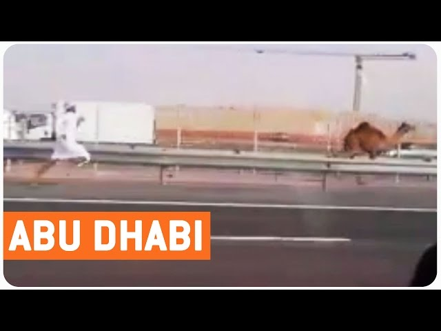 Man Chases Camel | HUMP DAY