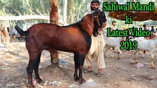 Top Class Nagra Goats - Andal Aur Breeder Bakray For Sale In Sahiwal Bakra Mandi