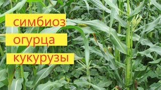 Как выращивать огурец вместе с кукурузой. Метод проверен на опыте.(Проверенный метод выращивания огурца в симбиозе с кукурузой. Получаем выгодное выращивание двох культур..., 2015-07-20T10:05:44.000Z)