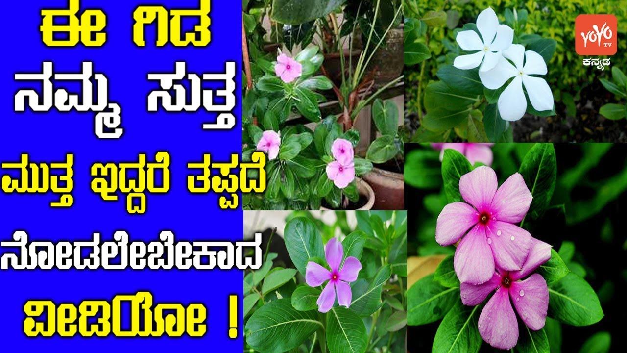 ಈ ಗಿಡ ನಮ್ಮ ಸುತ್ತ ಮುತ್ತ ಇದ್ದರೆ ತಪ್ಪದೆ ನೋಡಲೇಬೇಕಾದ ವೀಡಿಯೋ !, Interesting Facts  Kannada , YOYOTVKannada