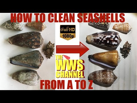 Sea shell Collection : How to clean seashells ? Everything to know about cleaning shells !