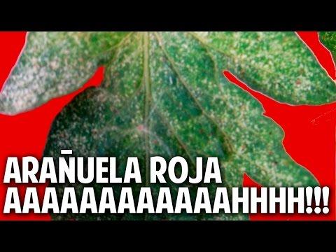 Control Total de Arañuela Roja en el huerto y jardin. Prevenir y Combatir - 1