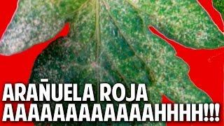 Arañuela Roja - Unico método de control Probado, Organico y Económico @cosasdeljardin