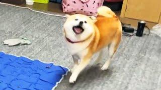 圧倒的なスピードで飼い主を抜き去り、勝利の煽り顔で近づいてくる柴犬