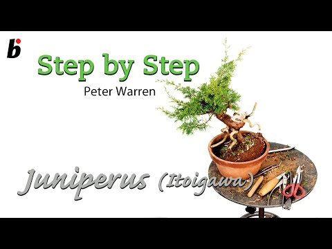 Peter Warren Juniperus chinensis