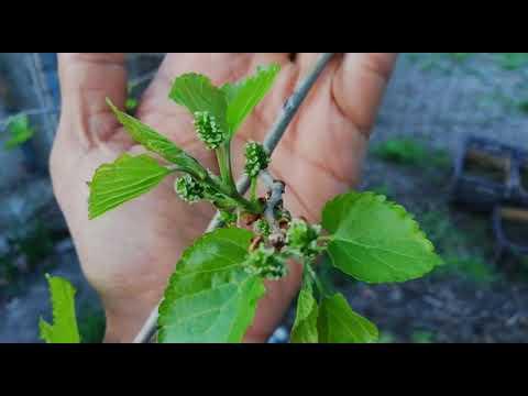 Цветение шелковицы в Ставропольском крае