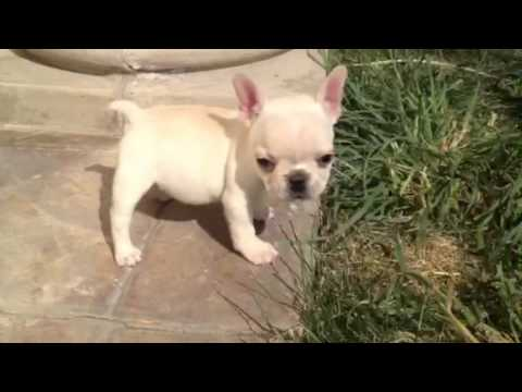 Tiny Teacup Size Creme French Bulldog In Los Angeles Area Rare You