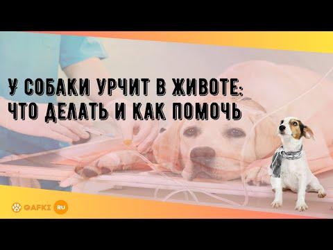 У собаки урчит в животе: что делать и как помочь