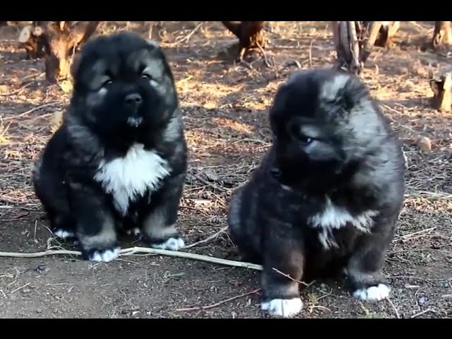 Cute Caucasian Shepherd Dog Puppies in Tbilisi Zoo 2015 [NEW HD VIDEO]