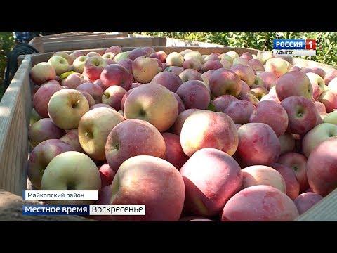 В Майкопском районе собирают урожай поздних сортов яблок