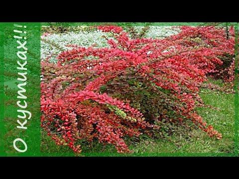 Что посадить в саду? Барбарис Тунберга  1. Сорта барбариса карпет. Неприхотливые кустарники.