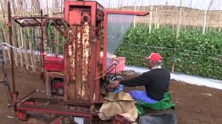 種子島の農業:スナップえんどうの収穫