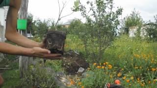 Как посадить магнолию Стеллата и Гинкго-билоба.