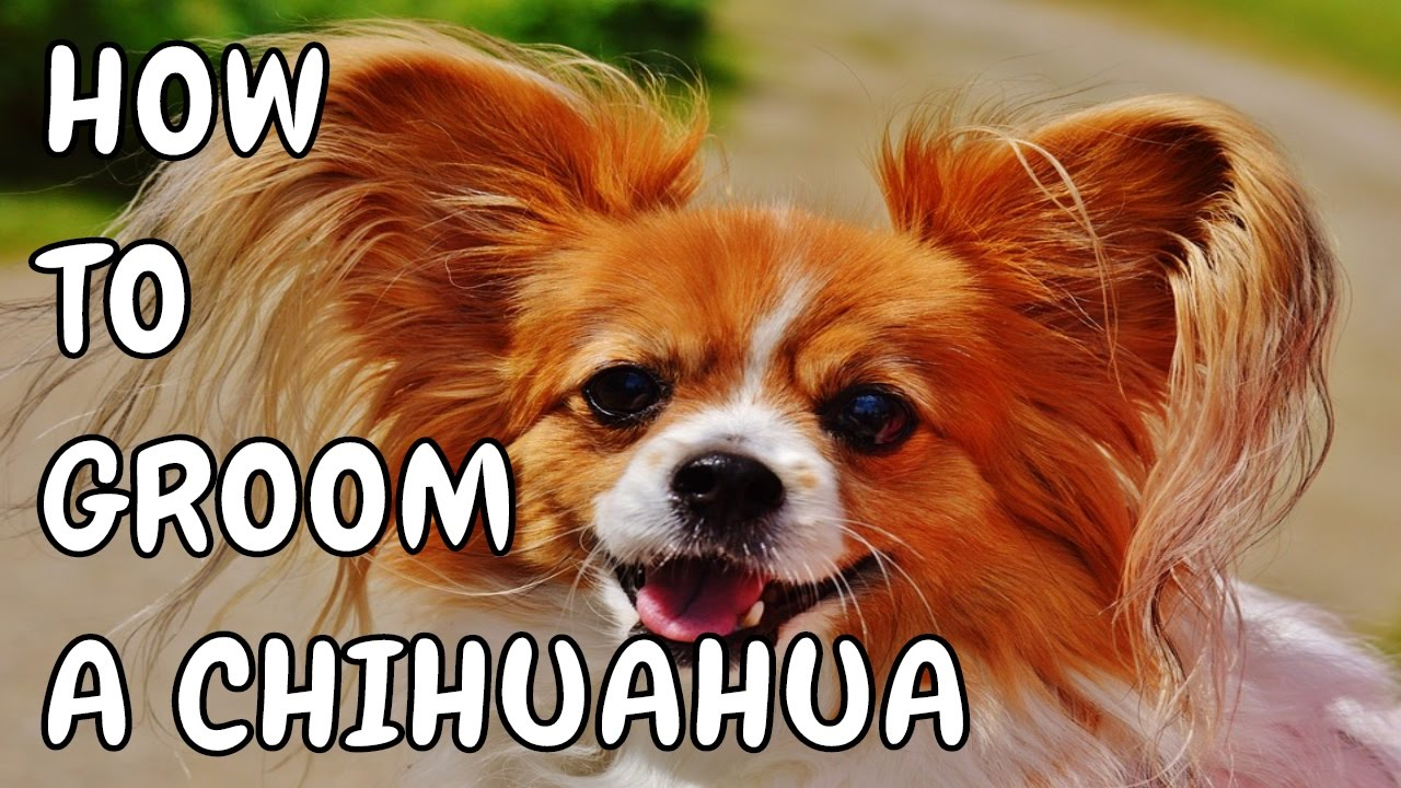 hair chihuahua grooming styles hair chihuahua grooming how to groom a haired 7476