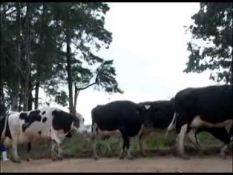 Colostro na alimentação humana (reprise)- Programa Rio Grande Rural
