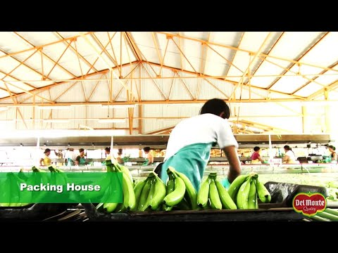 Del Monte®  Banana Production
