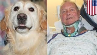 Hero golden retriever  Injured owner saved from freezing to death on NYE by loyal dog   TomoNews