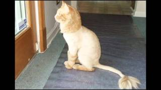 Стрижка кошек  Гигиеническая необходимость(Может кто-то и сочтет издевательством над кошкой,но гигиеническая стрижка кошек просто необходима, когда..., 2015-01-11T13:42:12.000Z)