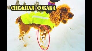 Снежная собака . Уход за лапами собаки зимой . Спаниель Сёма