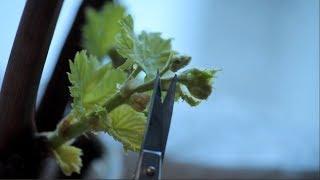 Виноград-удаляем соцветия с прироста черенков