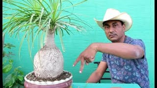 How to make Ponytail Palm Bonsai/Bonsai Hunter