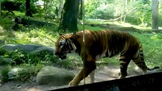How a Tiger was Tested for Coronavirus