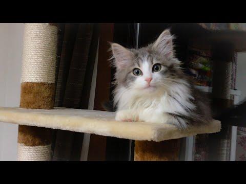 ぼくがやってきた【ノルウェージャンフォレストキャット/Norwegian Forest Cat】