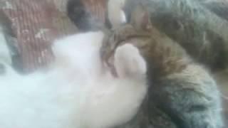 Кот лижет яйца другому коту - Cat licks another cat's eggs