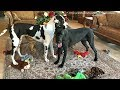 Funny Great Danes Empty Out Their Toy Box