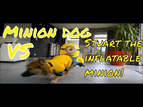Minion dog VS Stuart the inflatable minion (Try not to laugh)!