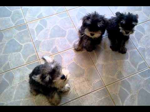 Schnauzer baby dogs
