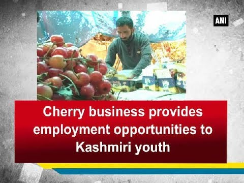 Cherry business provides employment opportunities to Kashmiri youth - Jammu and Kashmir News
