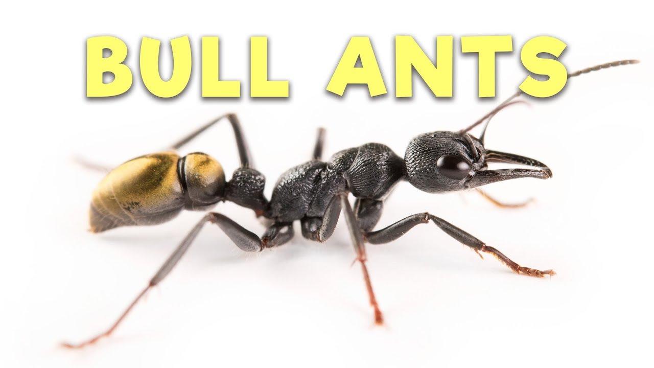 Ant Room Tour Bull Ants YouTube