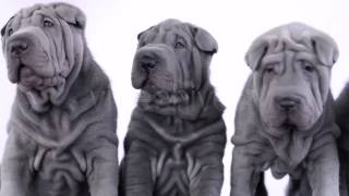 Stock Footage - Four Shar Pei Puppies Sitting In The Studio | Videohive
