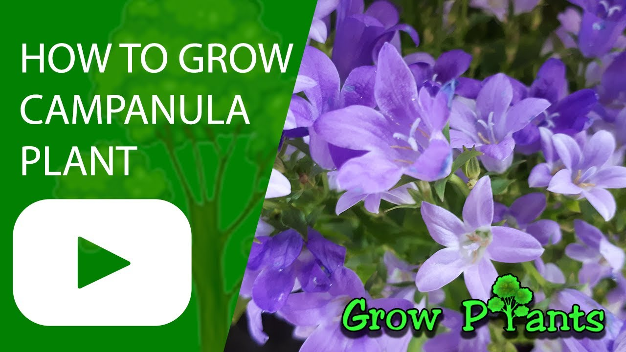 Download How to grow Campanula plant (Bellflower plant)