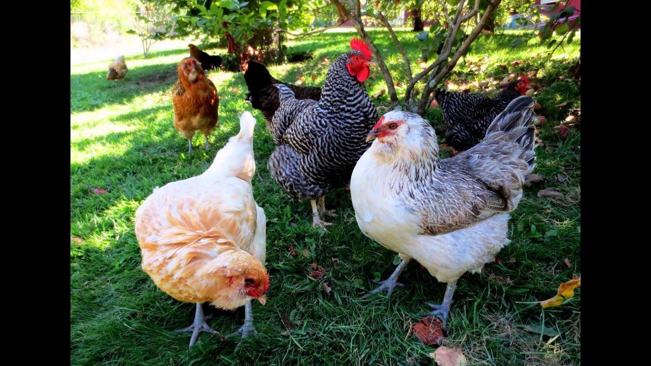 best backyard chickens youtube
