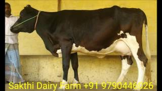 dairy farm in tamilnadu - hf and jersey cow supplier  +91 9790446026