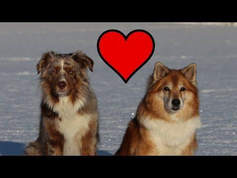 Valentine's Day | Australian Shepherd & Icelandic Sheepdog