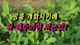 땅콩재배방법(peanut cultivation) 땅콩 …