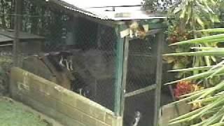 Smart Beagle Escapes Kennel